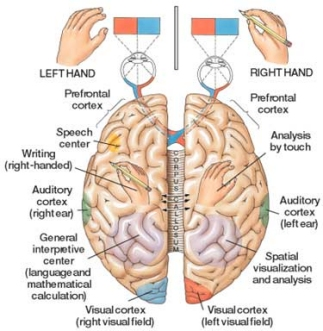 Right left right wrong handedness and the brain brain hemispheres and functional specialization ccuart Images